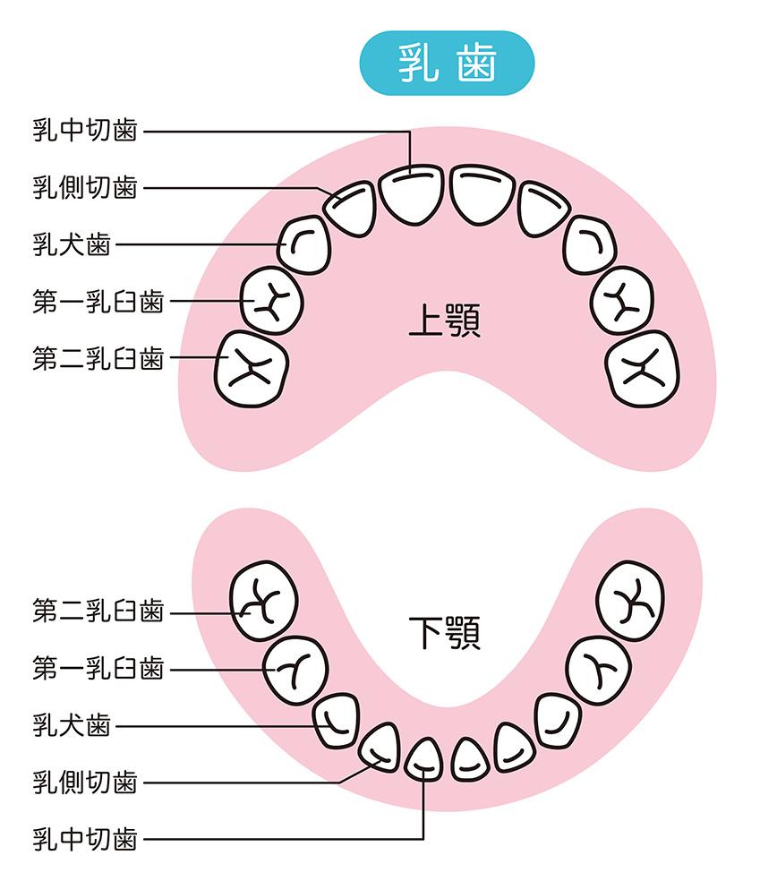 乳歯のむし歯になりやすい部位(図説)